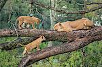 Africa, Kenya, Narok County, Masai Mara National Reserve. Lioness and her cubs