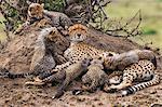 Africa, Kenya, Narok County, Masai Mara National Reserve. A Cheetah and her cubs