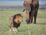 Africa, Kenya, Narok County, Masai Mara National Reserve. Elephant and Lion.