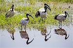 Kenya, Kajiado County, Amboseli National Park. Sacred Ibis in the swamps of Amboseli.