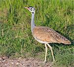 Kenya, Kajiado County, Amboseli National Park. A White-bellied Bustard.