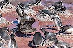 An adult brown skua (Stercorarius spp) stealing a penguin egg at Brown Bluff, Antarctica, Polar Regions