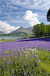 Wild bluebells (Hyacinthoides non-scripta) beside Loch Leven, the Pap of Glencoe beyond, Ballachulish, Highland, Scotland, United Kingdom, Europe