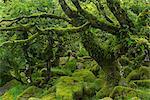 The mysterious Wistman's Wood, an ancient stunted pedunculate oak woodland high on the Dartmoor moorland, Dartmoor National Park, Devon, England, United Kingdom, Europe