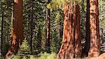 Giant Sequoia (Sequoiadendron giganteum) trees in Mariposa Grove, Yosemite National Park, UNESCO World Heritage Site, California, United States of America, North America