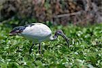 Sacred ibis ( Threskiornis aethiopicus ) is seeking food in lake