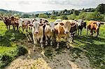 Portrait of herd of cows in rural green field