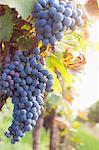 Red grapes growing in vineyard