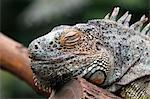France,Paris. Vincennes. Zoo de Vincennes. Large greenhouse. Close up of a green iguana (Iguana iguana).