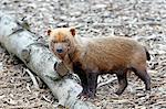 France,Paris. Vincennes. Zoo de Vincennes. Patagonia area. Close up of a bush dog (Speothos venaticus).