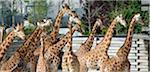 France. Paris 12th district. Wood of Vincennes. Zoo of Paris (formerly called Zoo of Vincennes). Giraffes
