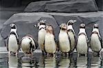 France. Paris 12th district. Wood of Vincennes. Zoo of Paris (formerly called Zoo of Vincennes). Humboldt penguins