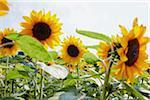 Field of Sunflowers in Summer, Carinthia, Austria