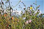 Flower Field in Summer, Carinthia, Austria