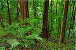 Rainforest, Daintree Rainforest, Daintree National Park, Mossman Gorge, Daintree National Park, Queensland, Australia