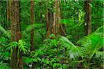 Rainforest, Daintree Rainforest, Mossman Gorge, Daintree National Park, Queensland, Australia