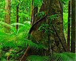 Tree in Daintree Rainforest, Mossman Gorge, Daintree National Park, Queensland, Australia