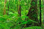 Trees in Rainforest, Daintree Rainforest, Mossman Gorge, Daintree National Park, Queensland, Australia