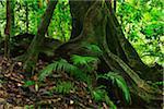 Tree Trunk, Daintree Rainforest, Mossman Gorge, Daintree National Park, Queensland, Australia