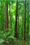 Daintree Rainforest, Mossman Gorge, Daintree National Park, Queensland, Australia