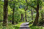 Tree-lined road, Killarney National Park, beside the town of Killarney, County Kerry, Ireland