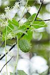 Close-up of Wild Cucumber Plant (Echinocystis lobata), Prince Edward Island, Canada