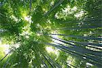 Bamboo grove, Japan