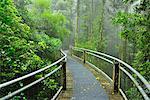 Winding Wooden Planks Path through Rainforest