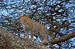 Leopard (Panthera pardus) in a tree, Ngorongoro Conservation Area, UNESCO World Heritage Site, Serengeti, Tanzania, East Africa, Africa