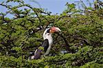 Von Der Decken's hornbill (Tockus deckeni), male, Ngorongoro Conservation Area, UNESCO World Heritage Site, Serengeti, Tanzania, East Africa, Africa