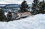 Siberian lynx (Iberian lynx) (Lynx lynx), Montana, United States of America, North America