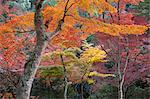 Maple trees in autumn, Momijidani Park (Japanese Maple Park), Miyajima Island, Western Honshu, Japan, Asia