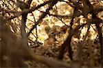 Portrait of lion cub amongst tree branches