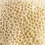 Brain coral(family Faviidae), close up.