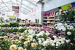 Dahlia flowers for sale in garden centre, Augsburg, Bavaria, Germany