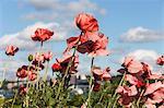 Close-up of poppy flowers, Stockholm, Sweden