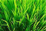 Blades of Grass, Bavaria, Germany