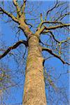 Looking up at Bare Oak Tree, Kleinheubach, Churfranken, Spessart, Bavaria, Germany