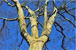 looking up at Bare Plane Tree Treetops, Kleinheubach, Churfranken, Spessart, Bavaria, Germany