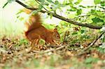 Close-up of Eurasian Red Squirrel (Sciurus vulgaris) in Late Summer, Germany