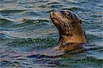 California sea lion (Zalophus californianus) juvenile in the water at Isla San Pedro Martir, Baja California, Mexico, North America