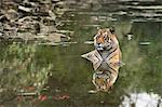 Ustaad, T24, Royal Bengal tiger (Tigris tigris), Ranthambhore, Rajasthan, India, Asia