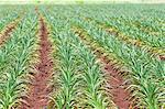 Pineapple plants, Dole Plantation, Wahiawa, Oahu, Hawaii, United States of America, Pacific