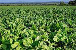 Arable farm crops
