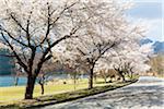 Blooming Cherry Trees along Road by Lake Kawaguchi, Yamanashi Prefecture, Japan