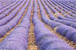 Lavender Field,Sault,Luberon,France