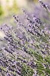 Lavender, Corsica, France