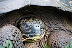 Giant tortoise (Geochelone elephantopus vandenburghi), Isla Sant Cruz, Galapagos Islands, UNESCO World Heritage Site, Ecuador, South America