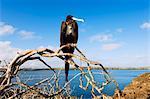 Great frigate bird (Frigata minor), Isla Genovesa, Galapagos Islands, UNESCO World Heritage Site, Ecuador, South America