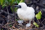 Red footed booby chick (Sula sula), Isla Genovesa, Galapagos Islands, UNESCO World Heritage Site, Ecuador, South America